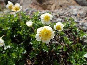 チングルマ(花)