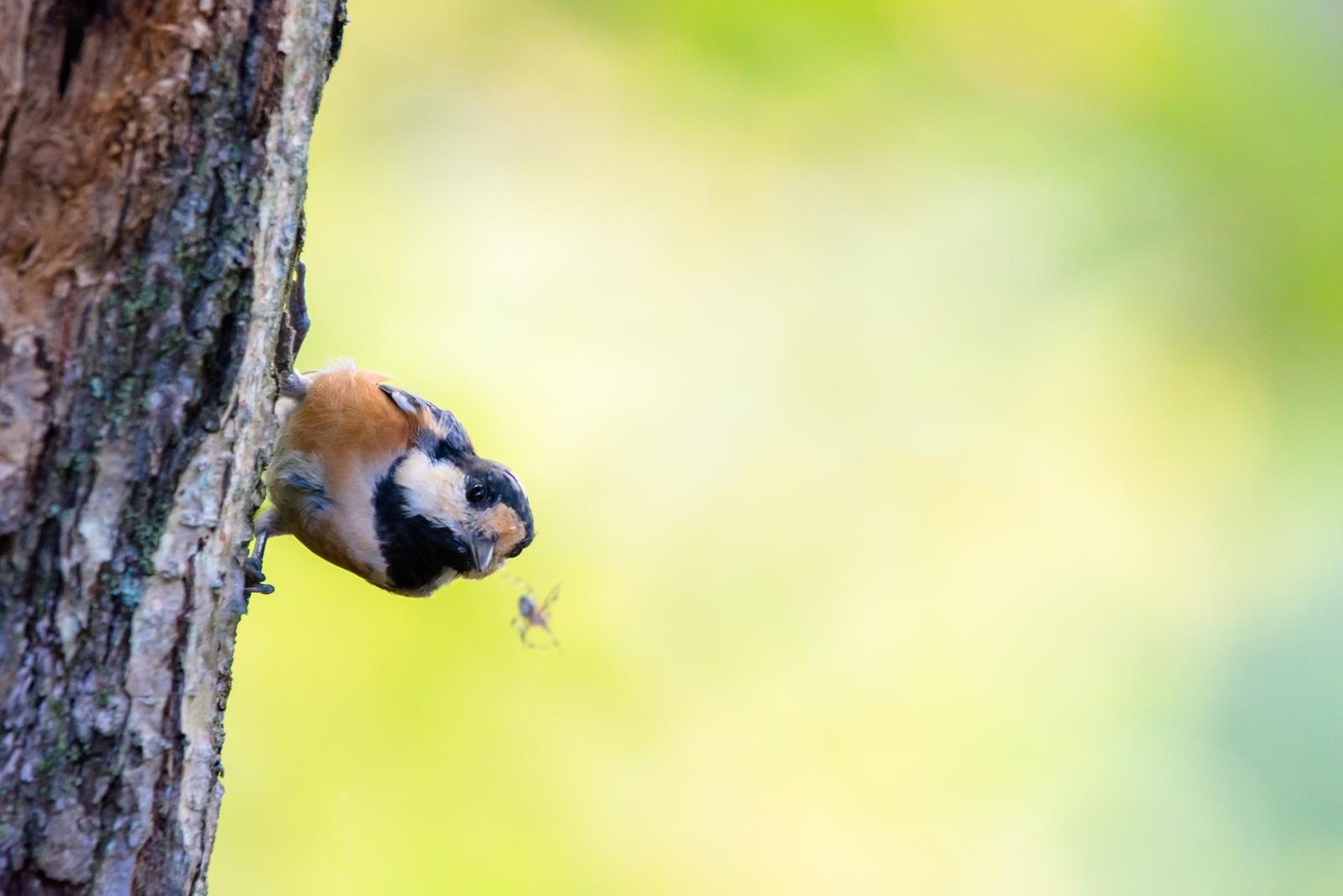 Photo: ロックオン Lock-on.  目の前の獲物に瞳をキラキラ わくわく高鳴る気持ち そんなキミを見て 僕もわくわくどきどき  Varied tit. (ヤマガラ)  #birdphotography #birds #cooljapan #kawaii #nikon #sigma  Nikon D7200 SIGMA 150-600mm F5-6.3 DG OS HSM Contemporary