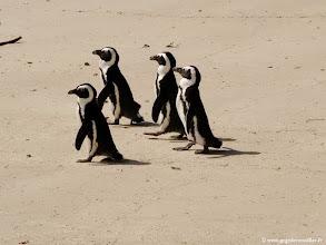 Photo: Les pingouins Africains du Cap sur la plage des Boulders à Simon's Town près du Cap.