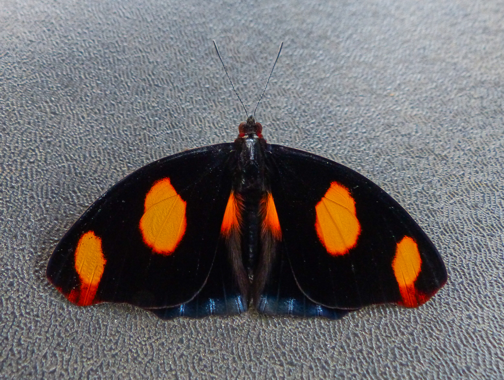 Blue-spotted Firewing