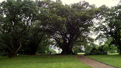 Photo: Albert Park features an enormous Morton Fig tree planted in the 1880's.  An even larger fig grows in San Diego's Balboa Park.
