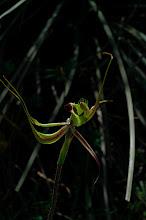 Photo: Caladenia attingens ssp. attingens