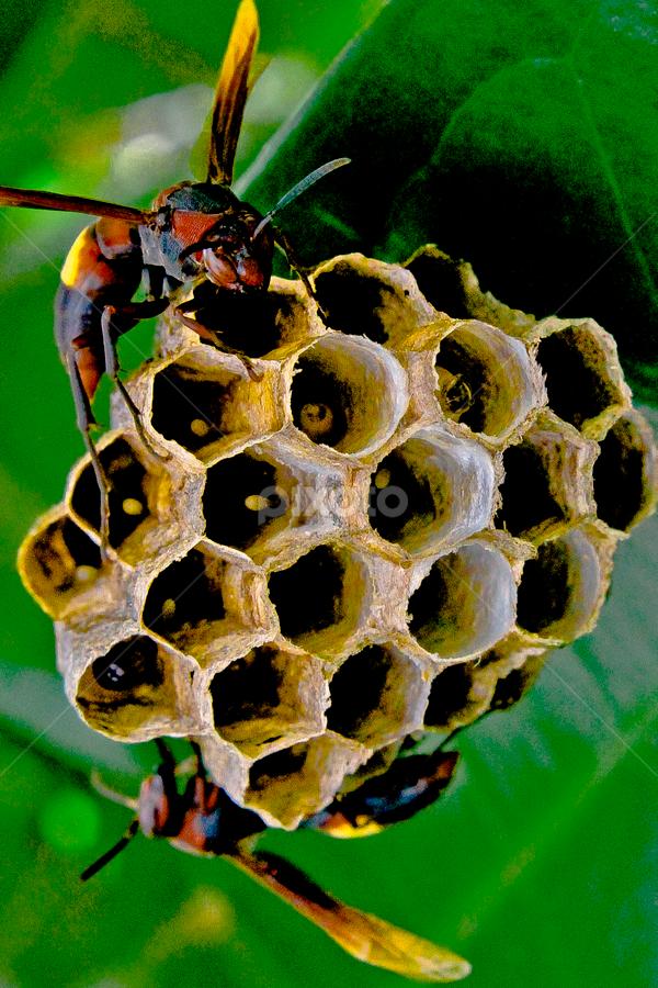 sarang tawon by Ronald Wahyudi - Nature Up Close Hives & Nests