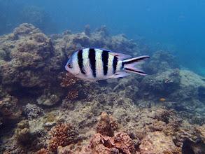 Photo: Abudefduf sexfasciatus (Scissortail Sergeant), Miniloc Island Resort reef, Palawan, Philippines.