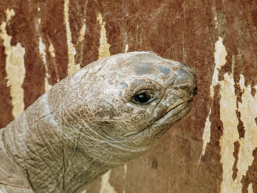 Głowa żółwia olbrzymiego