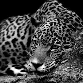 Jaguar Naps in B&W by Shawn Thomas - Black & White Animals (  )