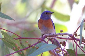 Photo: Western Bluebird - Male
