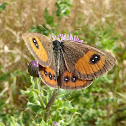 Common Tussock Butterfly
