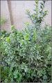 Photo: Arborele de matase siberian - Caragana - de pe Calea Victoriei, Nr.98 - 2016.04.07