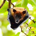 Indian flying fox / வௌவால் (VAWAAL)