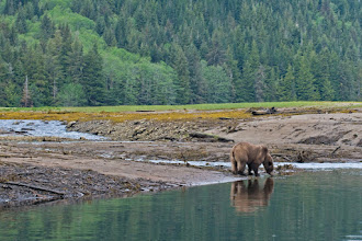 Photo: Grizzly sipping water by stream