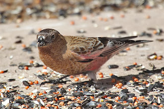 Photo: Brown-capped Rosy-Finch