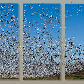 Bird watching by Andrew Tolsma - Animals Birds ( egret ross geese flight tryptich )