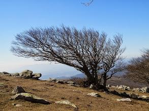 """Photo: magnifique hêtre soumis à des vents forts et réguliers présentant une morphologie: """"port en drapeau"""""""