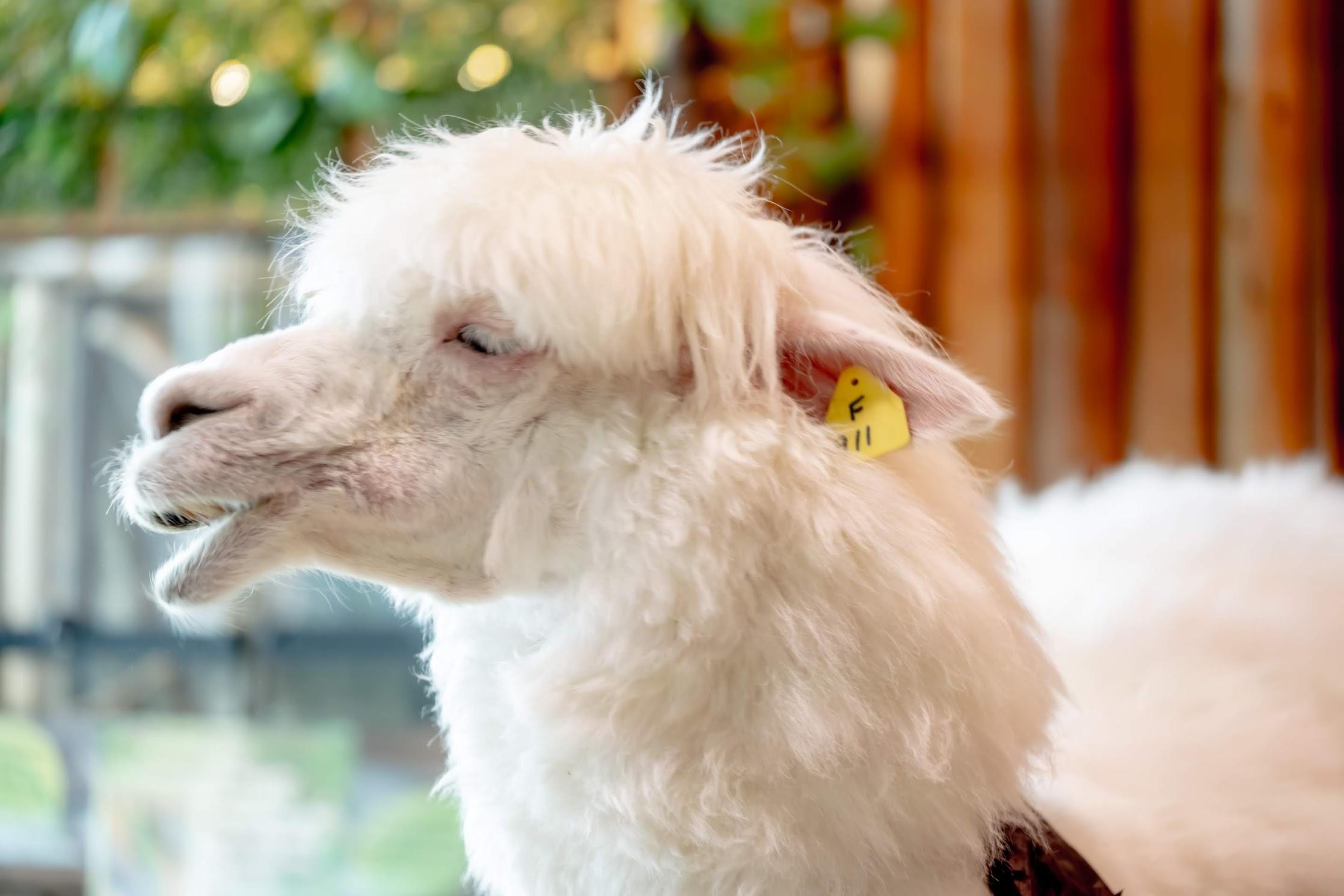 Tenpozan Anipa alpaca4