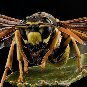 Female Wasp Guarding The Nest by Rui Isidro Falacho - Animals Insects & Spiders ( macro, wasp, sting, rui falacho, falacho )