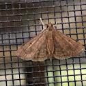 Florida Owlet Moth