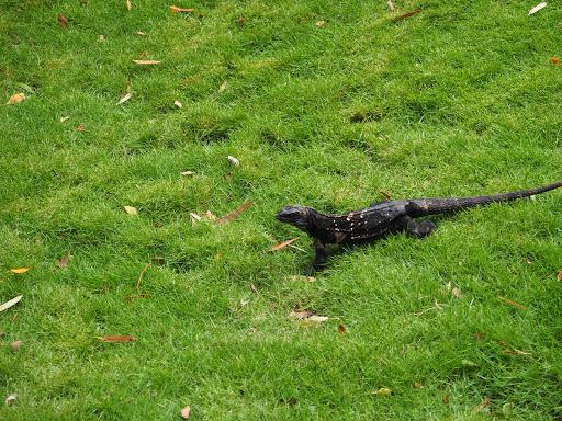 PB170322.JPG - One of the very rare black iguanas.