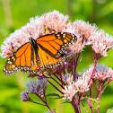 Monarch butterfly (on Joe-Pye weed or Bonesets)