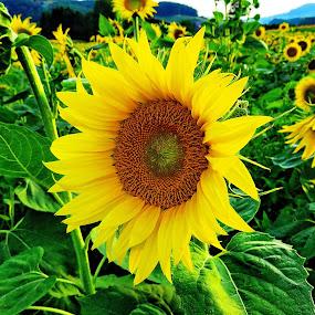 Sunflower  by Andjela Miljan - Flowers Single Flower (  )