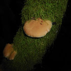 Late Fall Oyster Mushroom