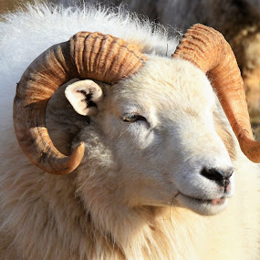 The Ram by Corinne Hall - Animals Other Mammals (  )