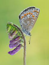 Photo: Argus Bleu, Polyommatus Icarus, Common Blue  http://lepidoptera-butterflies.blogspot.com/
