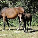 Wild Cracker Horse