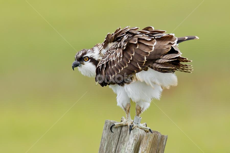 Osprey by Herb Houghton - Animals Birds ( wild, bird of prey, herbhoughton.com, raptor, juvenile, non captive, osprey )