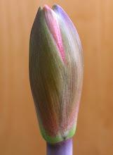 Photo: 19-3 C amarylka x T amarylka 2014-prosinec pokvete poprvé