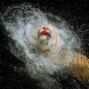 Tiger Splash by Alit  Apriyana - Animals Other Mammals