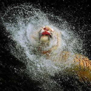 Tiger Splash_801.JPG