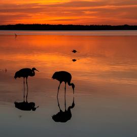 Feeding at twilight by Joe Saladino - Landscapes Sunsets & Sunrises ( reflections, sunset, sandhill cranes, birds, water )