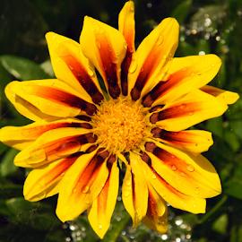 yellow gazania by LADOCKi Elvira - Flowers Single Flower (  )