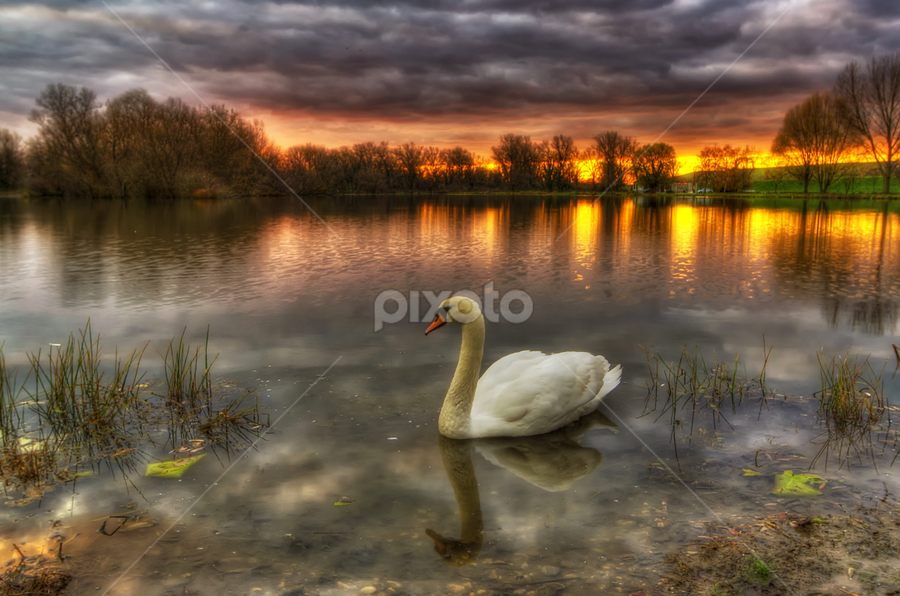 Swan lake by Boris Frković - Landscapes Waterscapes ( water, dawn, colorful, swan, reflections, lake, dusk )