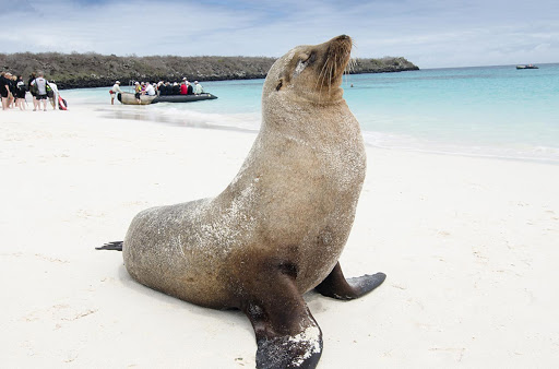 A fur seal seems nonplussed by approaching visitors in the Galapagos.
