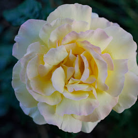 precious  by Lucija Janša - Nature Up Close Flowers - 2011-2013 ( rose, green, pink, evening )