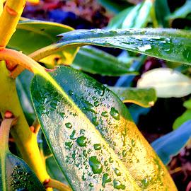 Wet green  by Mathias Hansen - Nature Up Close Other plants ( nature, grass, green, other plants, nature up close, wet, leaves, waterdrops, garden, sun, rain )