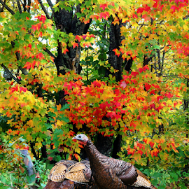 Wild Turkeys Autumn Maple Trees by Robin Amaral - Uncategorized All Uncategorized ( nostalgia, vibrant, rural, autumn colors, nature up close, trees, maple leaves, maples, new england, turkey, thanksgiving, autumn leaves, nature photography, free range, wild turkeys, wildlife )