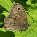 Dark wood-nymph (female)
