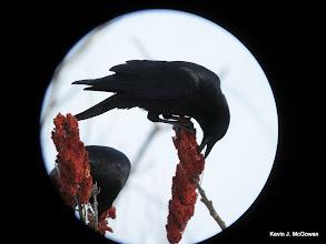 Photo: American Crow eating sumac