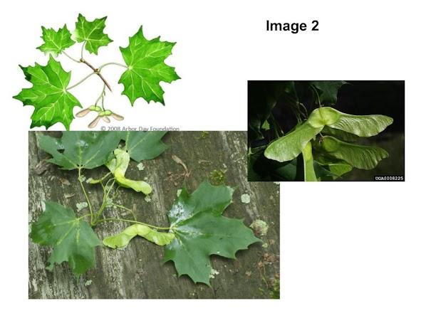 green buds, white milky sap