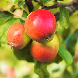 Giselle's Garden by James Johnstone - Nature Up Close Trees & Bushes ( fruit, red, tree, green, apples,  )