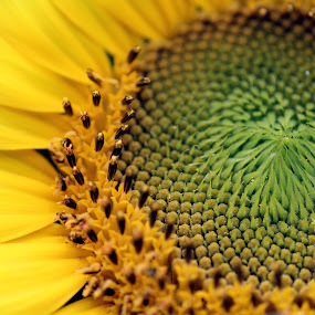 by Caitlin Scroggins - Nature Up Close Flowers - 2011-2013 ( canon, macro, sunflower, yellow )