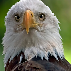 Enduring Spirit by Shelly Wetzel - Animals Birds ( bird, bird of prey, national symbol, bald eagle )
