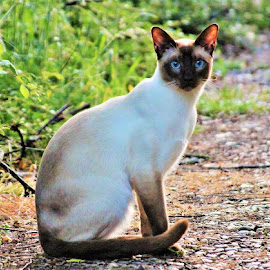Regal Siamese by Frank Gray - Animals - Cats Portraits ( cats, cat portraits, nature, felines, nature up close )