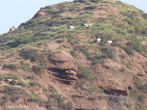 Photo: Nombreux nids de cigognes dans la falaise