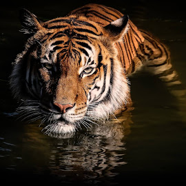 Cautious by Paulo Peres - Animals Lions, Tigers & Big Cats
