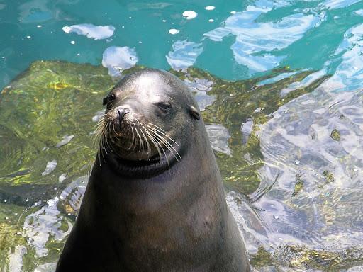 Galapagos-sea-lion - A sea lion  in the Galápagos.