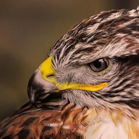 Bird of Prey 3 by Don Alexander Lumsden - Animals Birds (  )